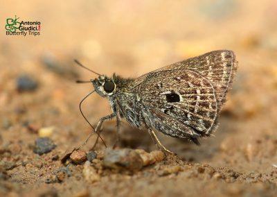 The Veined Scrub Hopperผีเสื้อจิ๋วปีกแหลมAeromachus stigmata