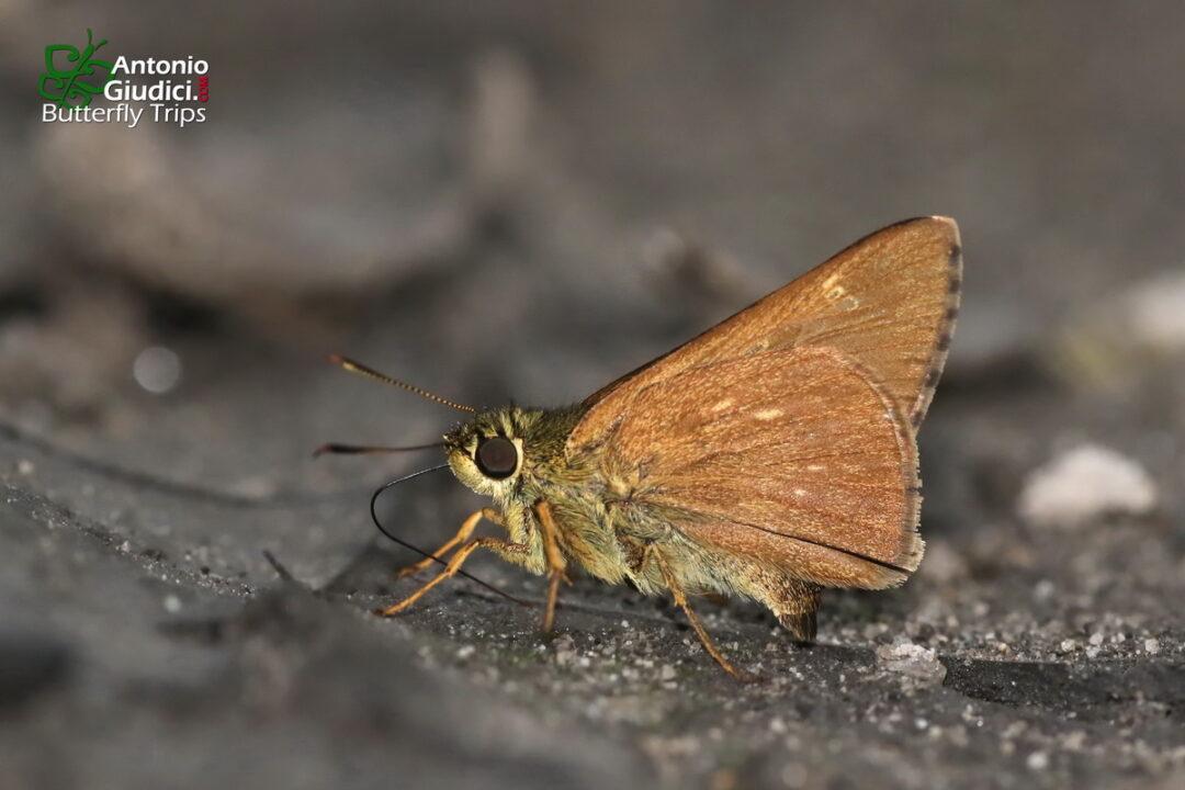 The Small-spot Plain Aceผีเสื้อจุดเหลี่ยมใต้เรียบจุดเลPedesta fusca