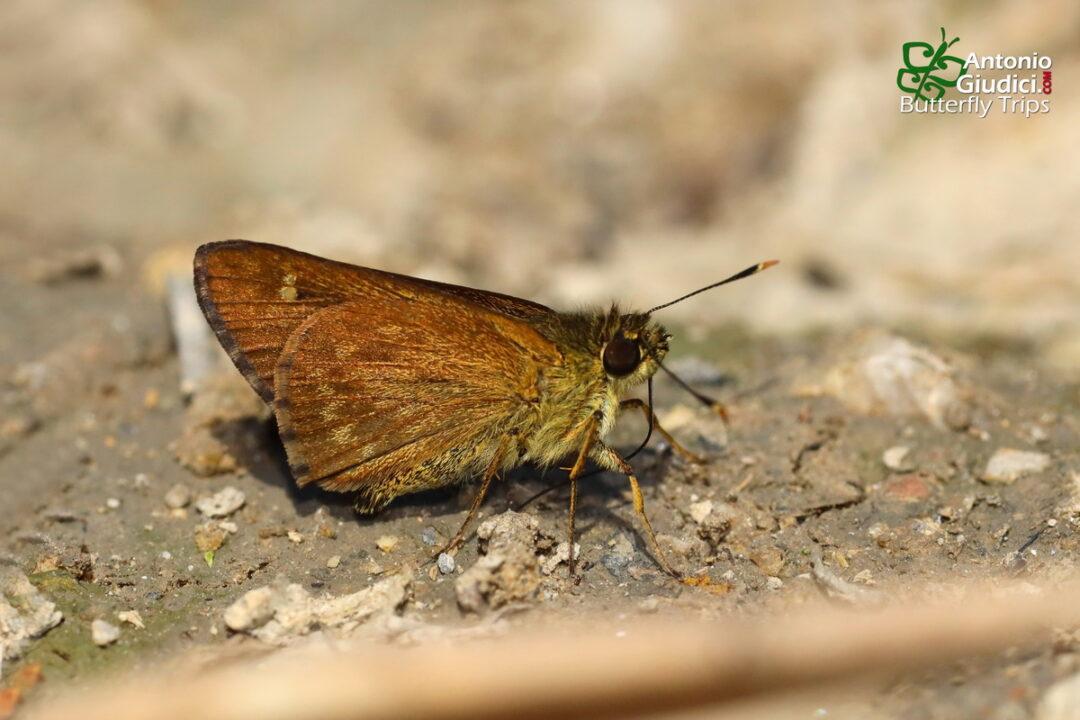The Large-spot Plain Aceผีเสื้อจุดเหลี่ยมใต้เรียบจุดใหPedesta hyrie