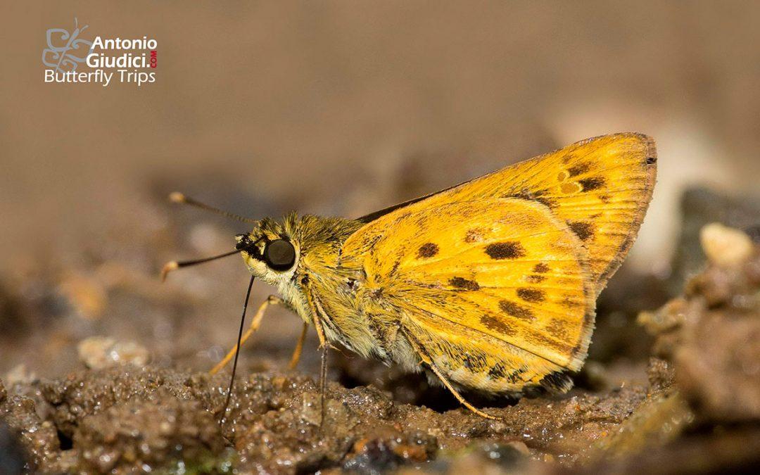 The Golden Aceผีเสื้อจุดเหลี่ยมสีทองThoressa masoni