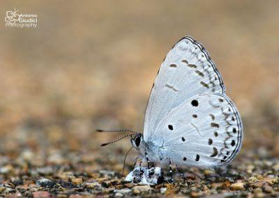 The Plain Hedge Blueผีเสื้อฟ้าพุ่มลิมบาตาCelastrina lavendularis