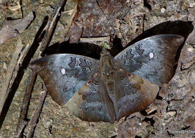 The Mountain Gray Baronn/aEuthalia saitaphernes