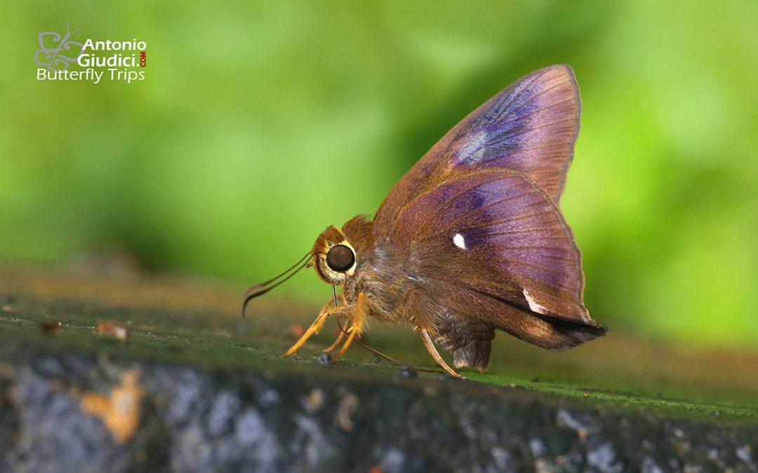 The Common Awlผีเสื้อหน้าเข็มธรรมดาHasora badra