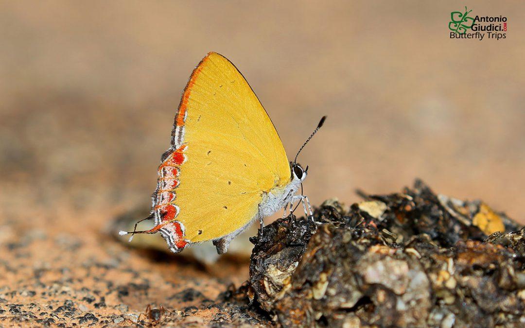 The Naga Sapphiren/aHeliophorus kohimensis