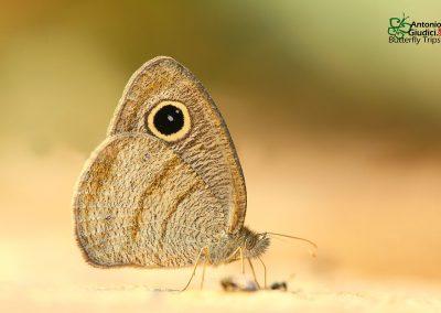 The Pallid Fiveringผีเสื้อสีตาลจุดตาห้าแกมเขียวYpthima savara