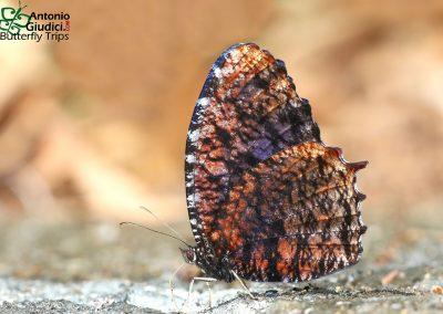 The Marbled Palmflyผีเสื้อหนอนมะพร้าวลายหินอ่อนElymnias saola