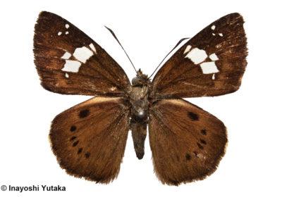 n/an/aColadenia uemurai